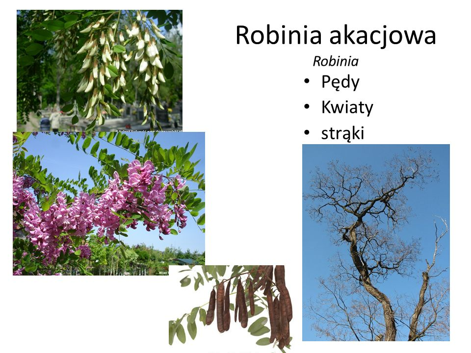 Robinia akacjowa Robinia Pędy Kwiaty strąki