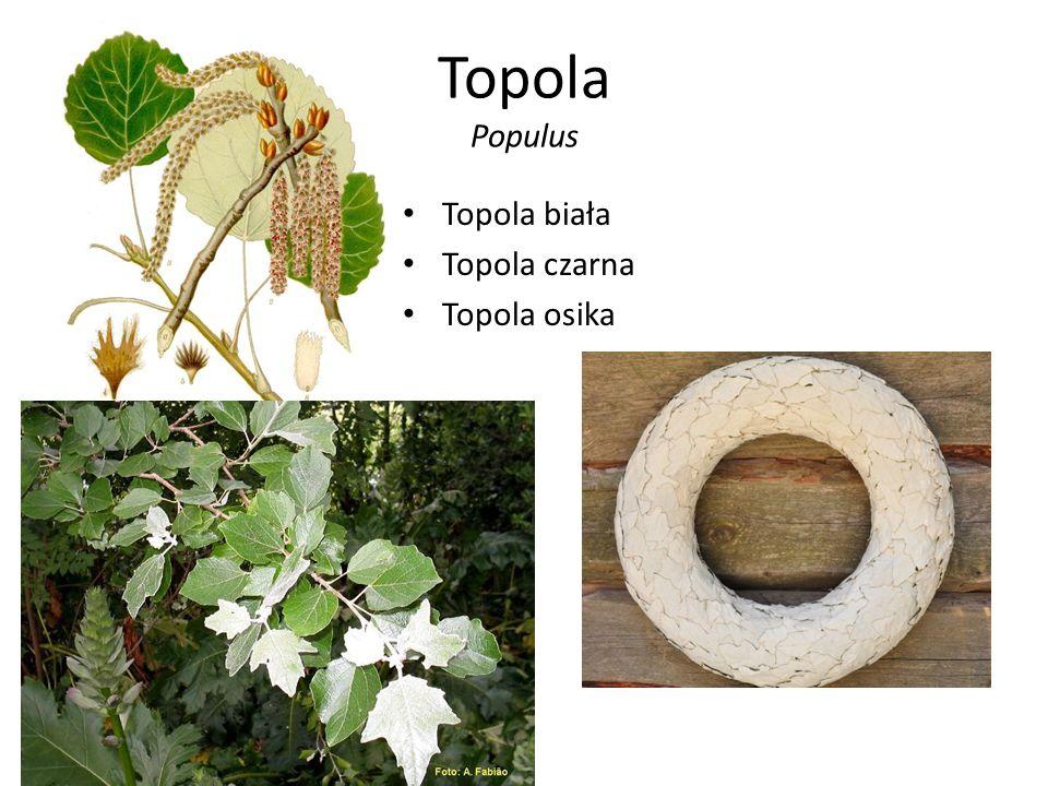 Topola Populus Topola biała Topola czarna Topola osika
