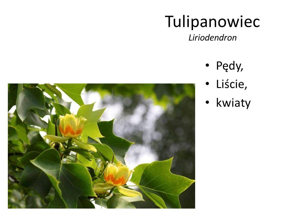 Tulipanowiec Liriodendron Pędy, Liście, kwiaty