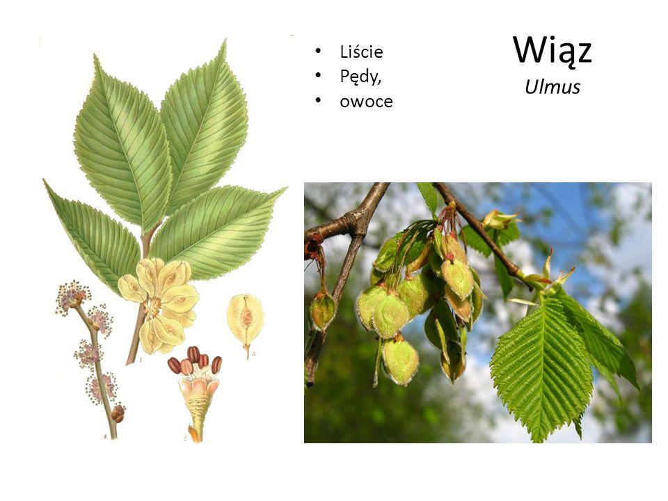 Wiąz Ulmus Liście Pędy, owoce
