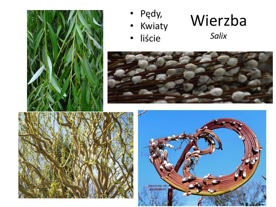 Wierzba Salix Pędy, Kwiaty liście