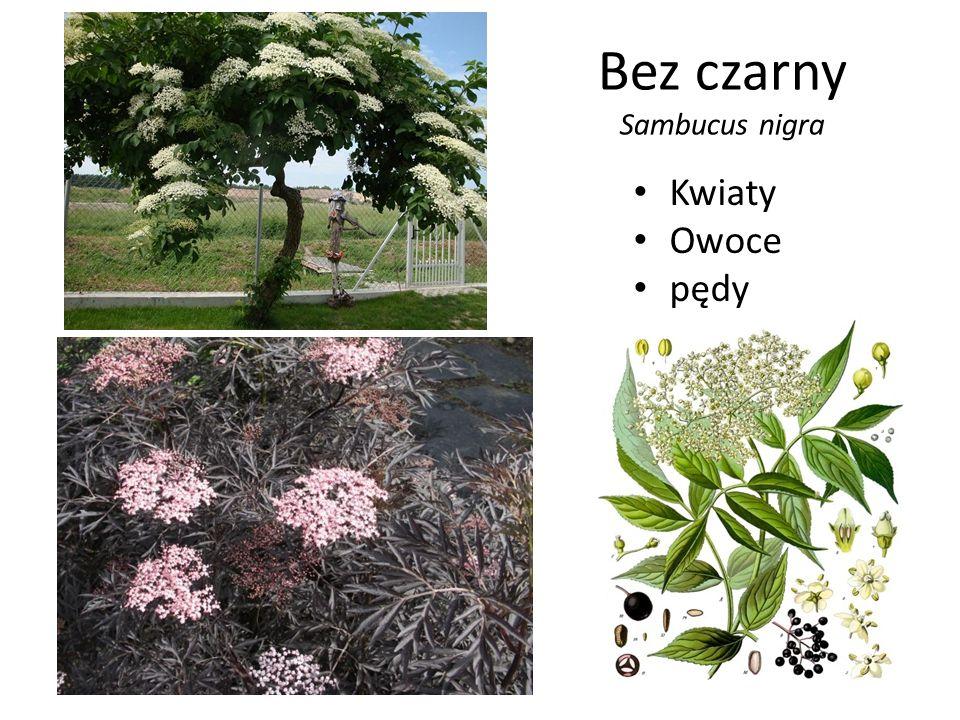Bez czarny Sambucus nigra Kwiaty Owoce pędy