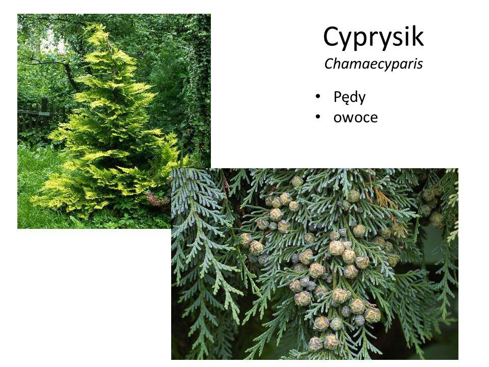 Cyprysik Chamaecyparis Pędy owoce