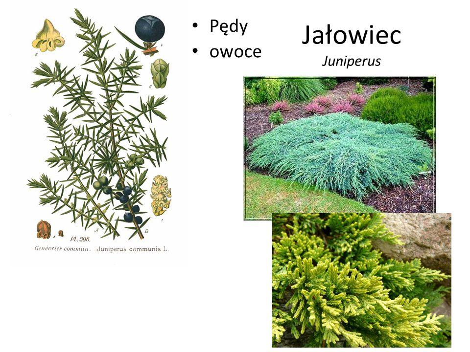 Jałowiec Juniperus Pędy owoce