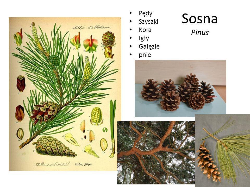 Sosna Pinus Pędy Szyszki Kora Igły Gałęzie pnie