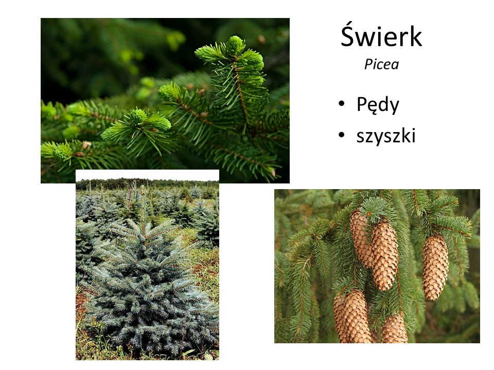Świerk Picea Pędy szyszki