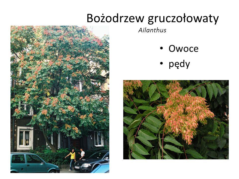 Bożodrzew gruczołowaty Ailanthus Owoce pędy