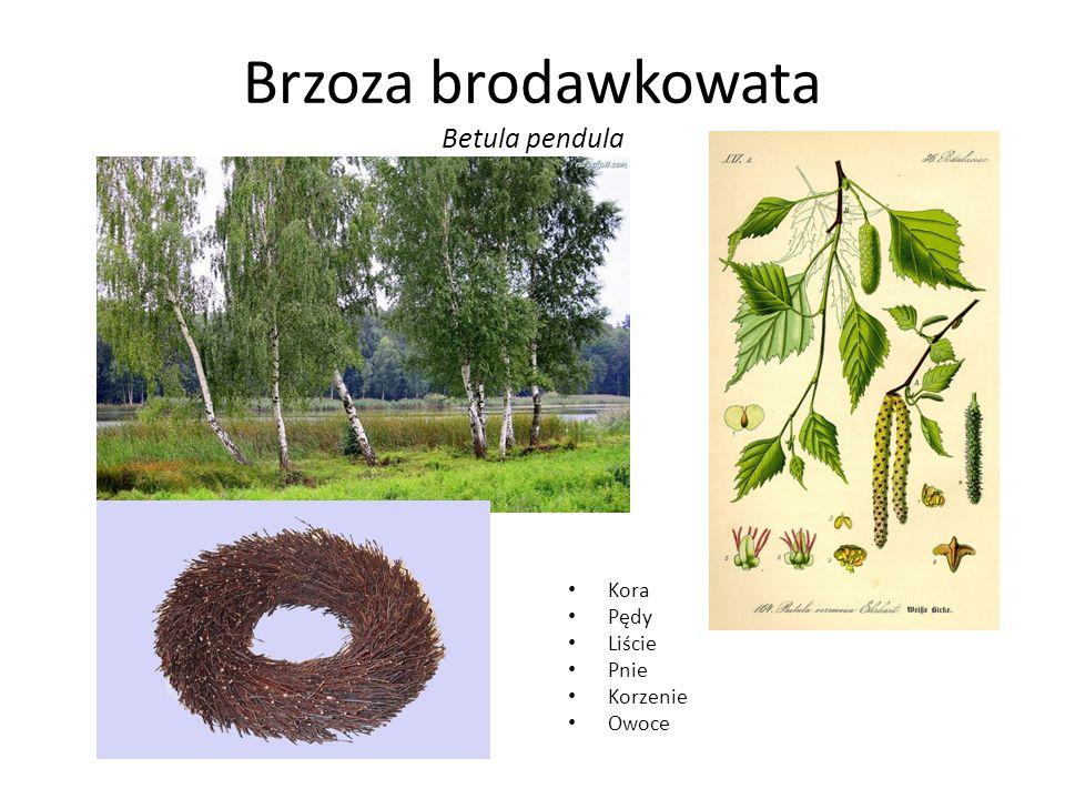 Brzoza brodawkowata Betula pendula Kora Pędy Liście Pnie Korzenie Owoce