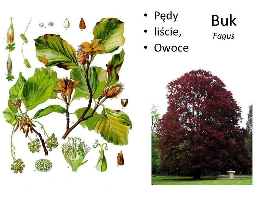 Buk Fagus Pędy liście, Owoce