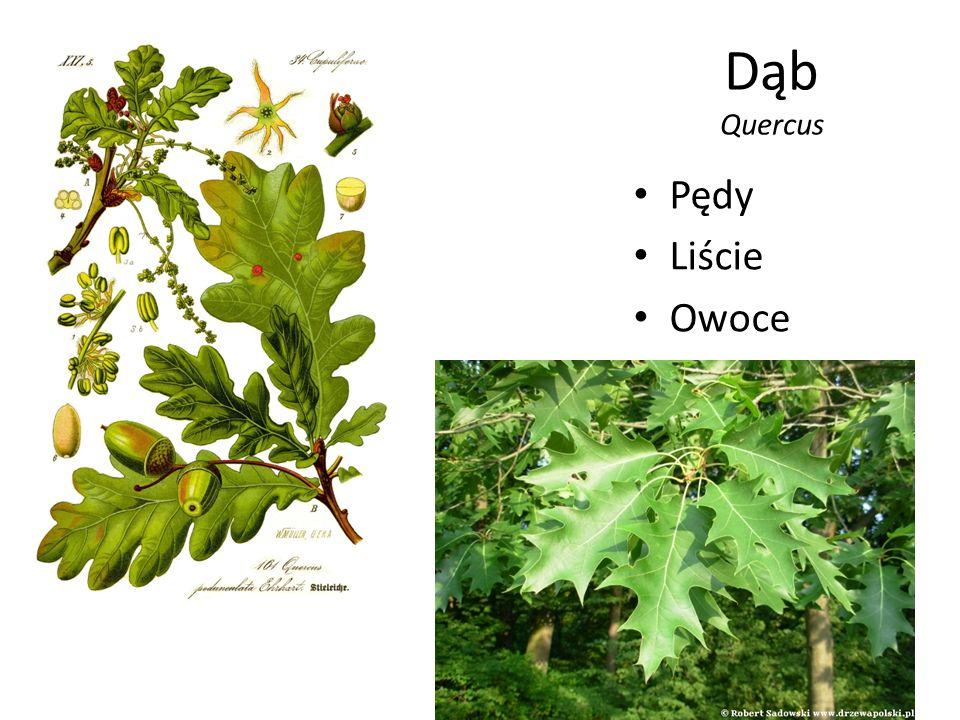 Dąb Quercus Pędy Liście Owoce