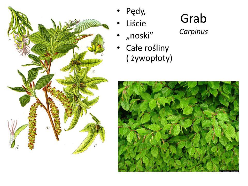 """Grab Carpinus Pędy, Liście """"noski"""" Całe rośliny ( żywopłoty)"""