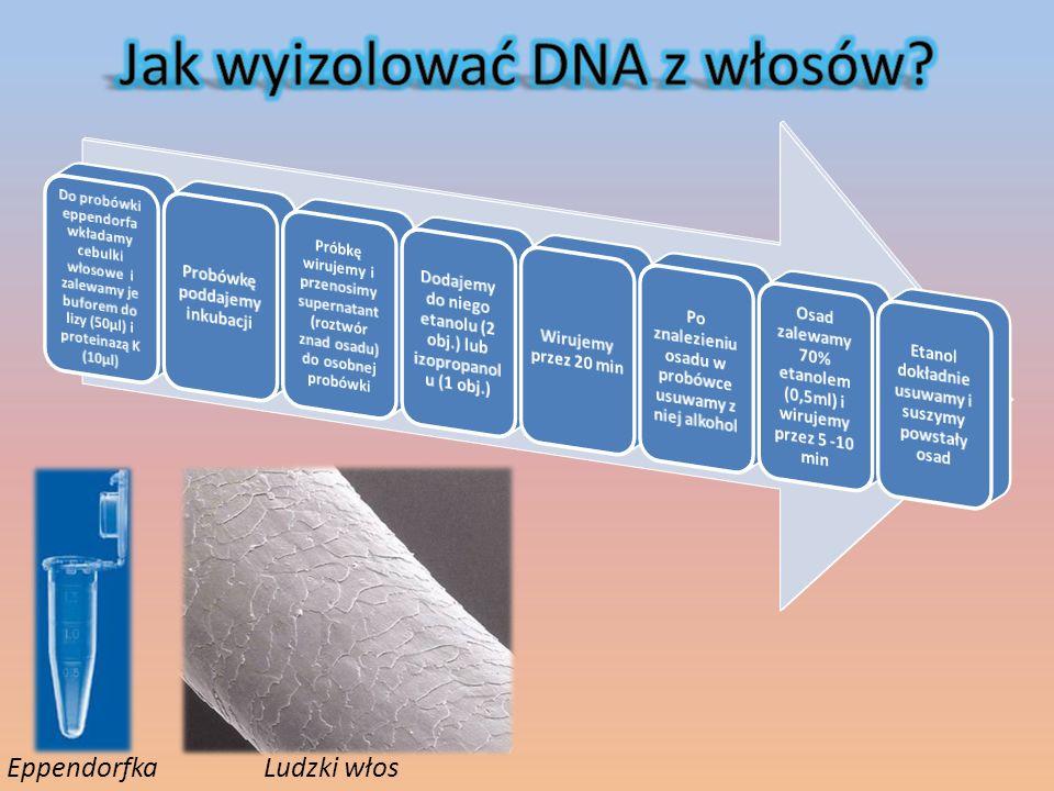 Amplifikacja – duże zwielokrotnienie ilości Enzymy restrykcyjne – enzymy przecinające nić DNA w miejscach zawierających specyficzne sekwencje nukleotydów
