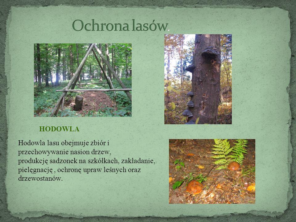 HODOWLA Hodowla lasu obejmuje zbiór i przechowywanie nasion drzew, produkcję sadzonek na szkółkach, zakładanie, pielęgnację, ochronę upraw leśnych oraz drzewostanów.