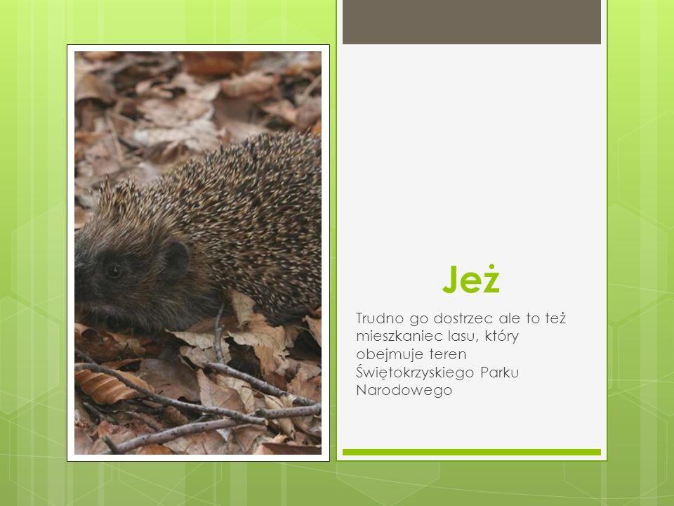 Jeż Trudno go dostrzec ale to też mieszkaniec lasu, który obejmuje teren Świętokrzyskiego Parku Narodowego
