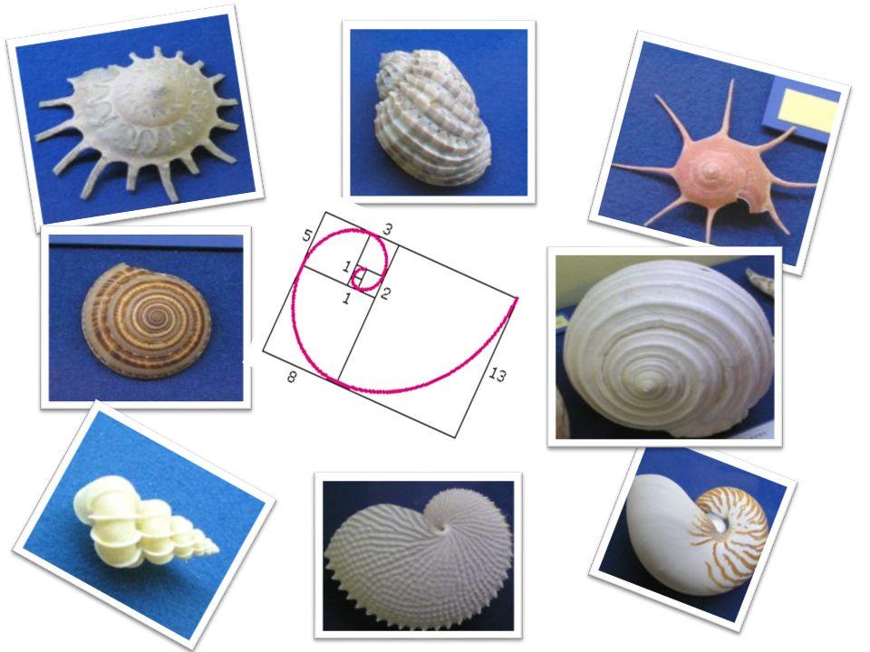 Jedną z bardziej interesujących realizacji matematycznych idei w przyrodzie są muszle wytwarzane przez liczne gatunki mięczaków.