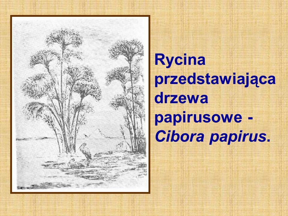 Rycina przedstawiająca drzewa papirusowe - Cibora papirus.