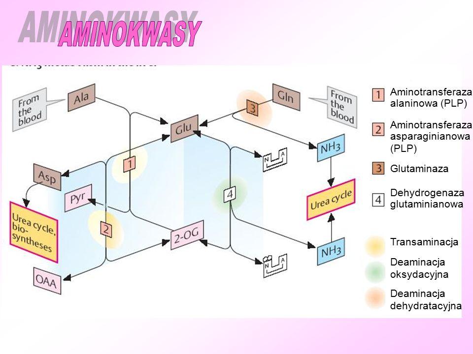 Aminotransferaza alaninowa (PLP) Aminotransferaza asparaginianowa (PLP) Glutaminaza Dehydrogenaza glutaminianowa Transaminacja Deaminacja oksydacyjna Deaminacja dehydratacyjna