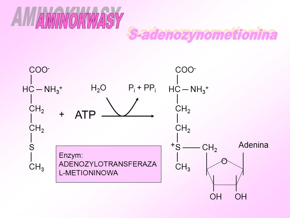COO - │ HC ─ NH 3 + │ CH 2 │ CH 2 │ S │ CH 3 + ATP H 2 O P i + PP i COO - │ HC ─ NH 3 + │ CH 2 │ CH 2 │ S ─── CH 2 │ CH 3 Adenina OH Enzym: ADENOZYLOTRANSFERAZA L-METIONINOWA + O