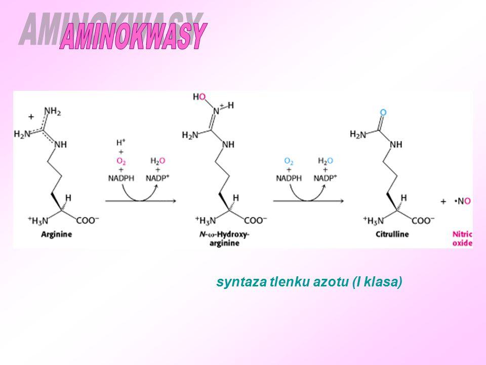 syntaza tlenku azotu (I klasa)