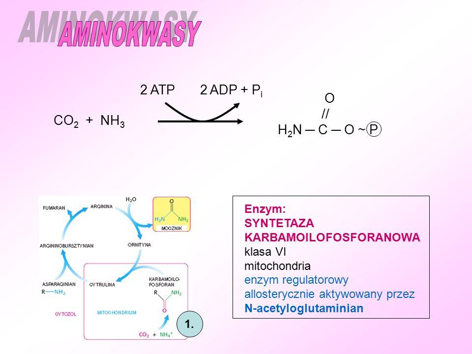 1. CO 2 + NH 3 2 ATP 2 ADP + P i O // H 2 N ─ C ─ O ~ P Enzym: SYNTETAZA KARBAMOILOFOSFORANOWA klasa VI mitochondria enzym regulatorowy allosterycznie