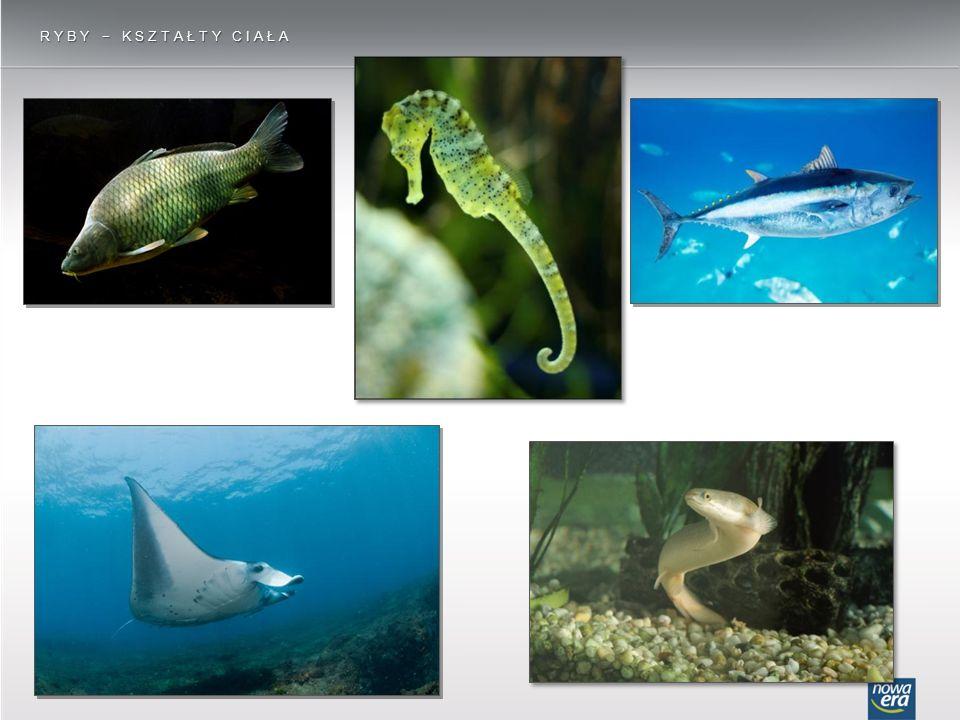 RYBY − OPIEKA NAD POTOMSTWEM u konika morskiego jaja są przechowywane w specjalnej torbie lęgowej na spodniej stronie ogona u samców ryby pielęgnicowate, np.