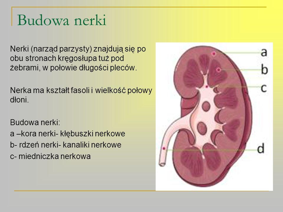 Nefron Nefron to jednostka strukturalna i funkcjonalna nerki.