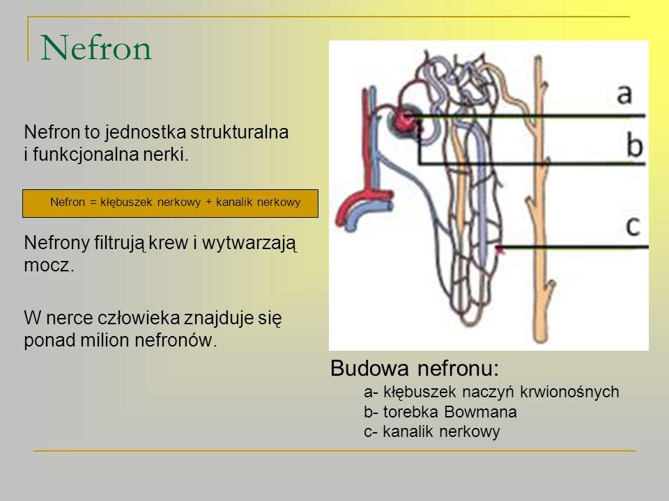 Mechanizm powstawania moczu 1.Filtracja – to proces filtrowania krwi w kłębuszku nerkowym.