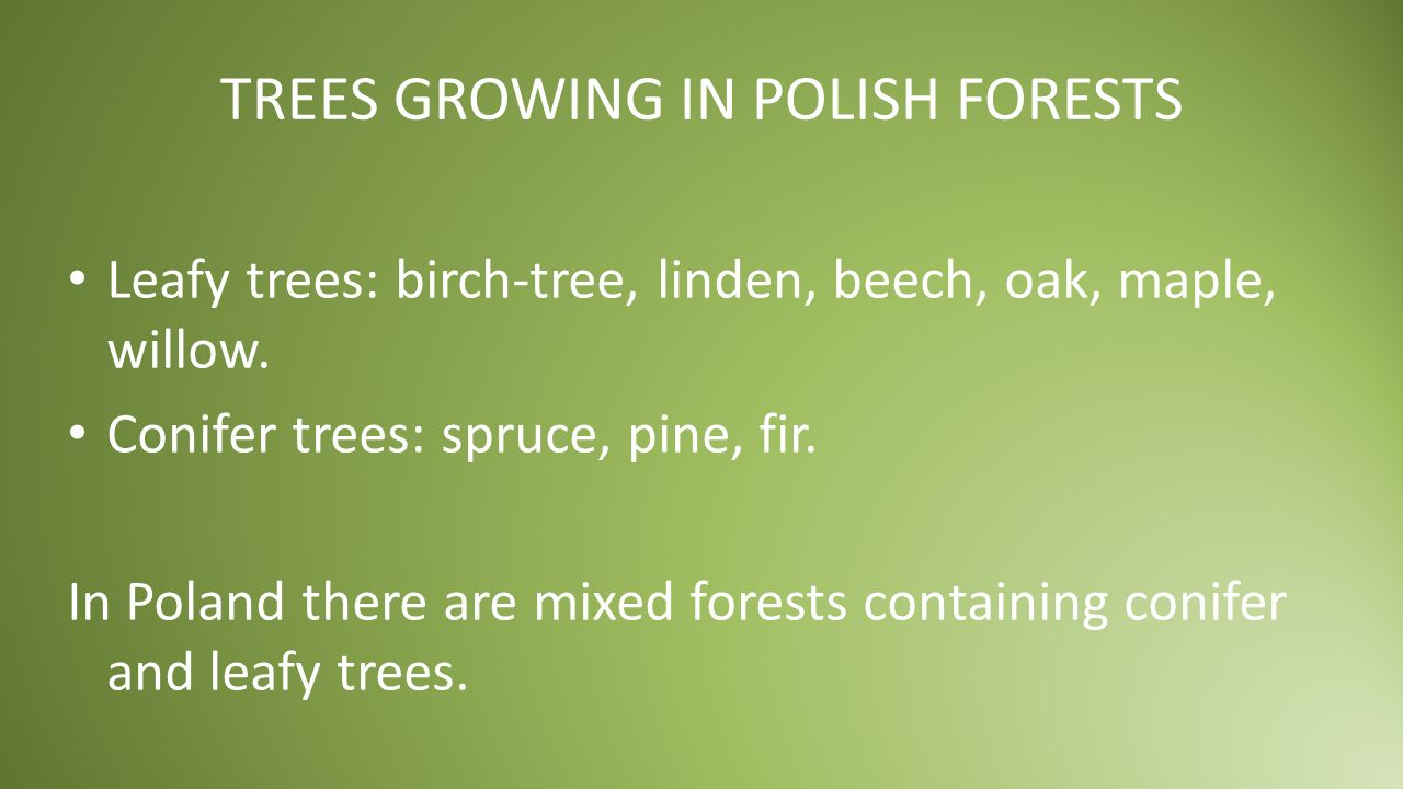 TREES GROWING IN POLISH FORESTS Leafy trees: birch-tree, linden, beech, oak, maple, willow.