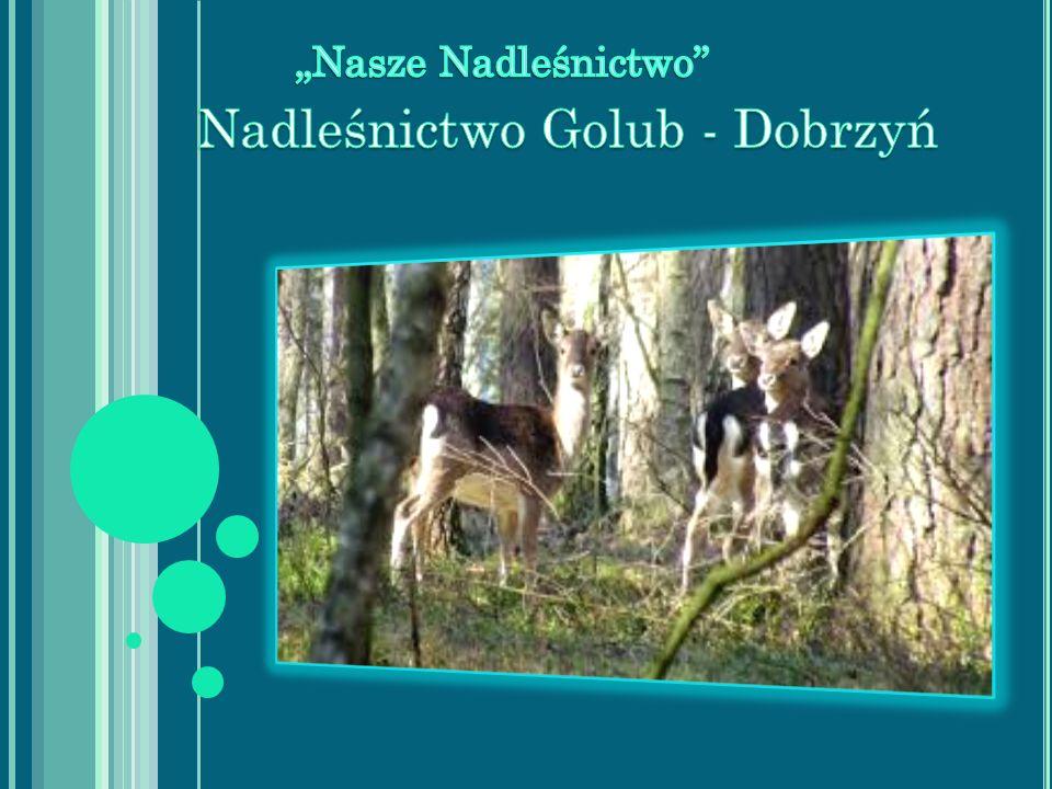 Nadleśnictwo Golub – Dobrzyń jest jednym z 27 nadleśnictw wchodzących w skład Regionalnej Dyrekcji Lasów Państwowych w Toruniu.
