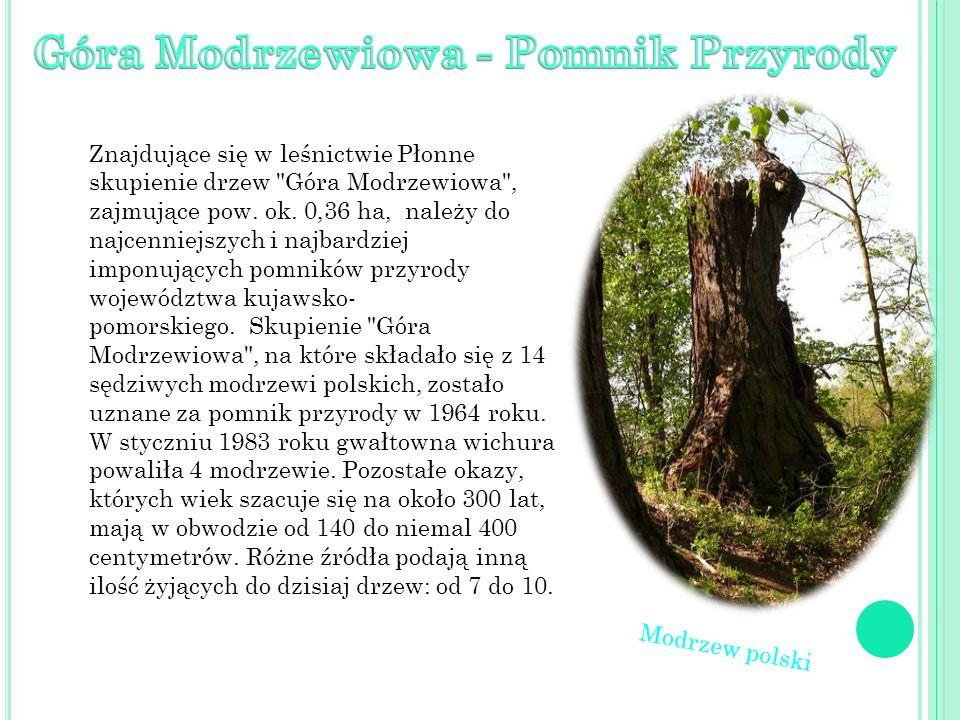 Znajdujące się w leśnictwie Płonne skupienie drzew