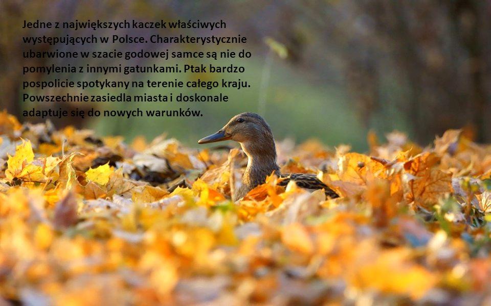 Kaczka krzyżówka Anas platyrhynchos