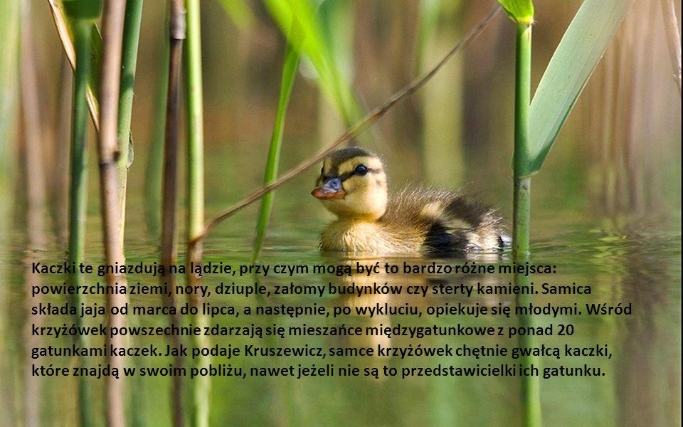 Jedne z największych kaczek właściwych występujących w Polsce. Charakterystycznie ubarwione w szacie godowej samce są nie do pomylenia z innymi gatunk