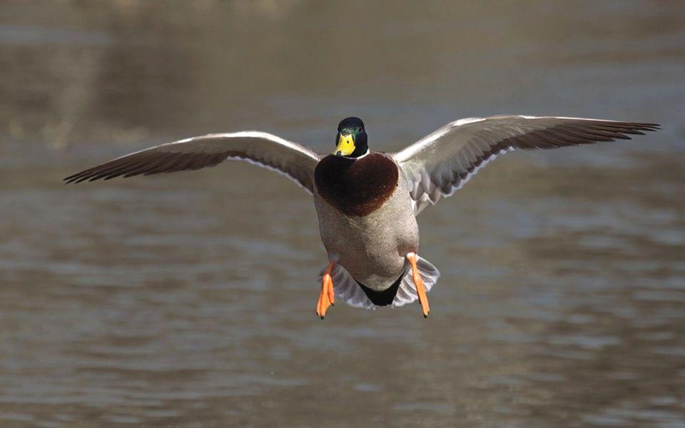Ptaki te szybko się uczą i potrafią dostosować swoje zachowanie do warunków otoczenia – inaczej na przykład zachowują się w mieście, inaczej w środowi