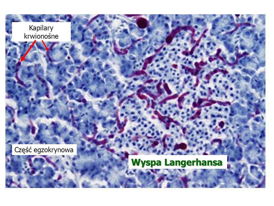 Wyspa Langerhansa Część egzokrynowa Kapilary krwionośne