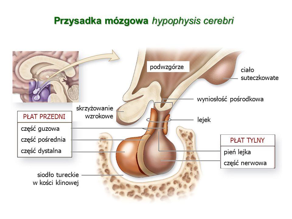 Przysadka mózgowa hypophysis cerebri część guzowa część pośrednia część dystalna pień lejka część nerwowa PŁAT PRZEDNI skrzyżowanie wzrokowe ciało sut