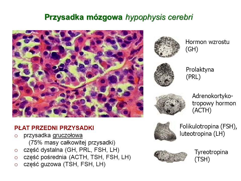 Hormon wzrostu (GH) Prolaktyna (PRL) Adrenokortyko- tropowy hormon (ACTH) Folikulotropina (FSH), luteotropina (LH) Tyreotropina (TSH) PŁAT PRZEDNI PRZ