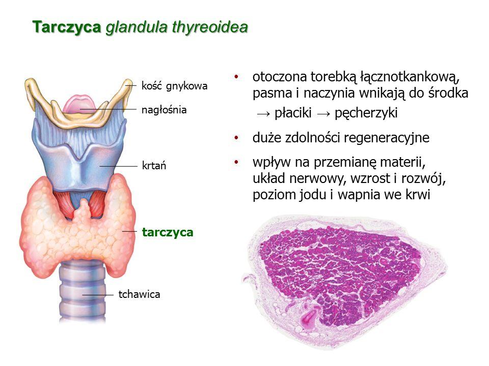 Tarczyca glandula thyreoidea tchawica krtań tarczyca kość gnykowa nagłośnia otoczona torebką łącznotkankową, pasma i naczynia wnikają do środka → płac
