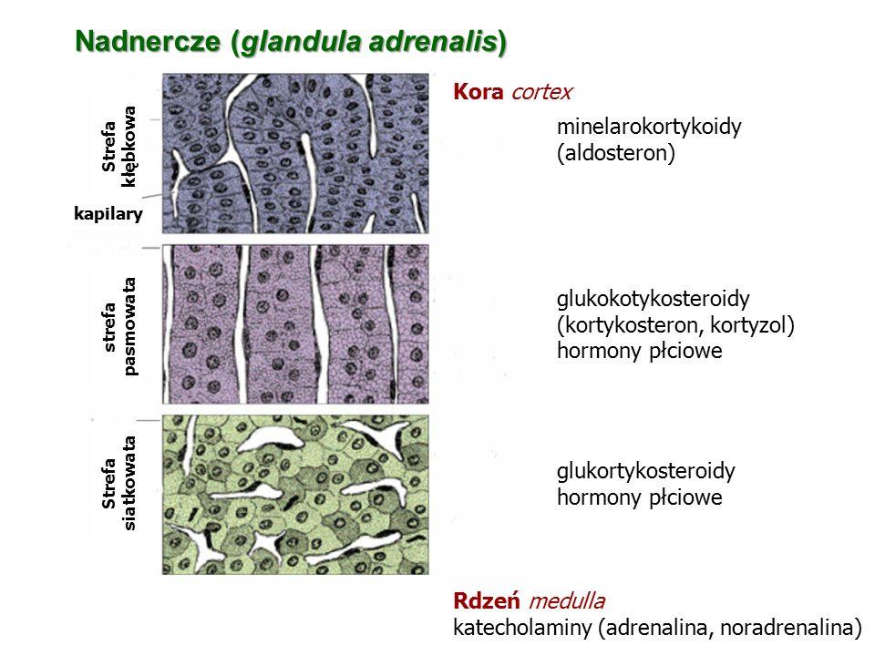 Strefa kłębkowa kapilary strefa pasmowata Strefa siatkowata minelarokortykoidy (aldosteron) glukokotykosteroidy (kortykosteron, kortyzol) hormony płci