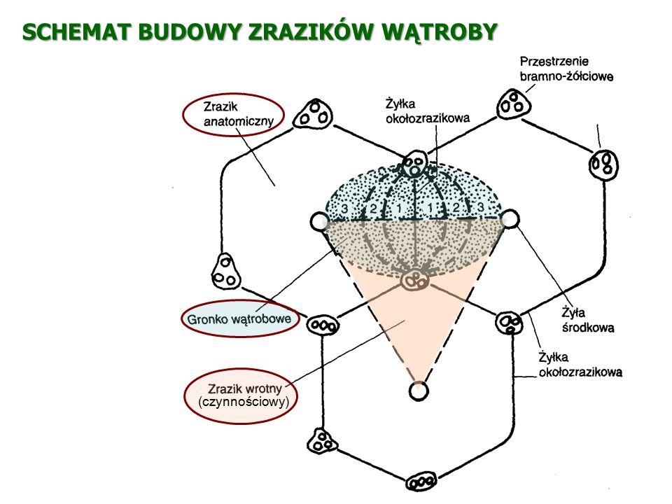 TRZUSTKA (pancreas) o gruczoł zewnątrzwydzielniczy i wewnątrzwydzielniczy Funkcje: o metaboliczna: produkcja enzymów (amylaza, lipaza, trypsyna, chymotrypsyna) o wewnątrzwydzielnicza: produkcja hormonów (glukagon, insulina, somatostatyna) Budowa: Część zewnątrzwydzielnicza: pęcherzyki gruczołowe, przewody wyprowadzające i naczynia na zrębie tkanki łącznej Część wewnątrzwydzielnicza: zgrupowania komórek endokrynowych (wyspy Langerhansa) rozrzucone w części zewnątrzwydzielniczej