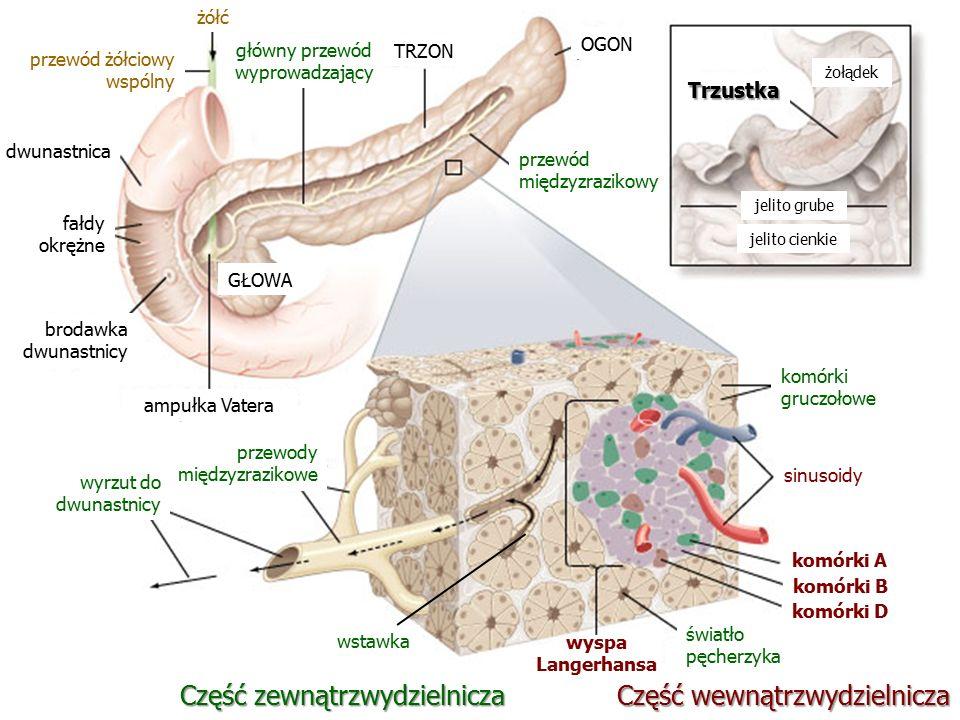 Trzustka żołądek jelito cienkie jelito grube Część wewnątrzwydzielnicza sinusoidy komórki gruczołowe komórki A komórki B komórki D światło pęcherzyka