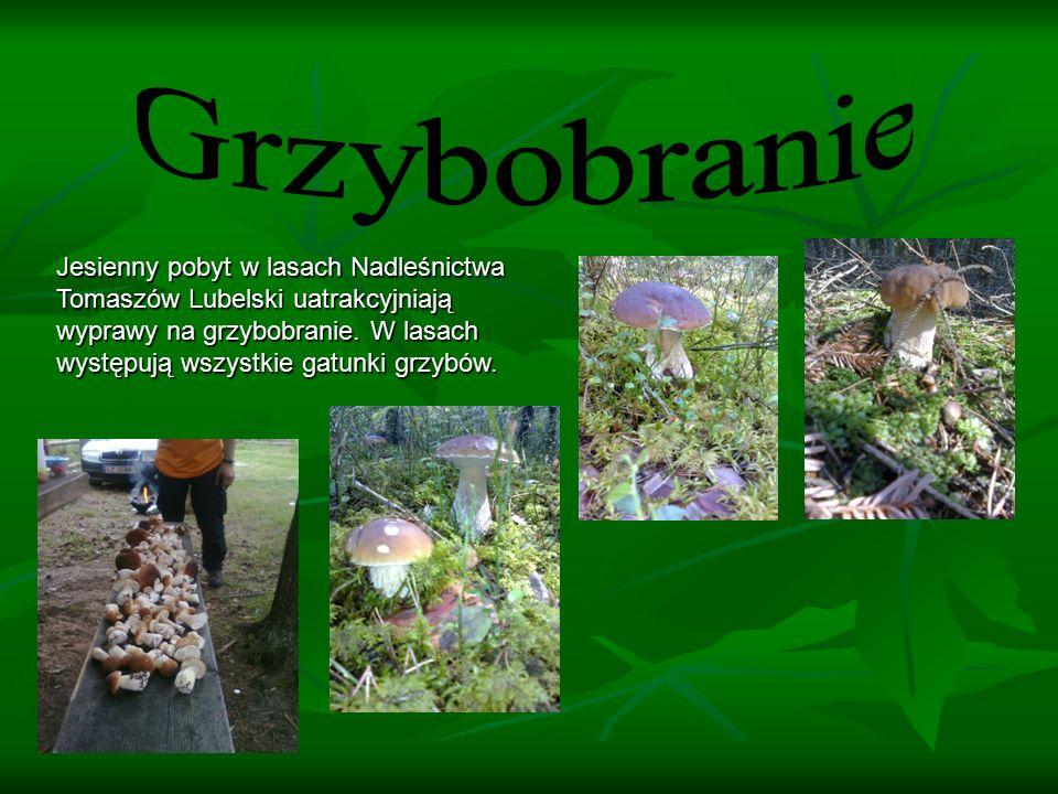 Jesienny pobyt w lasach Nadleśnictwa Tomaszów Lubelski uatrakcyjniają wyprawy na grzybobranie.