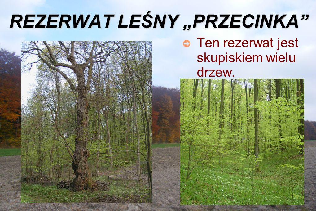 """REZERWAT LEŚNY """"PRZECINKA ➲ Ten rezerwat jest skupiskiem wielu drzew."""