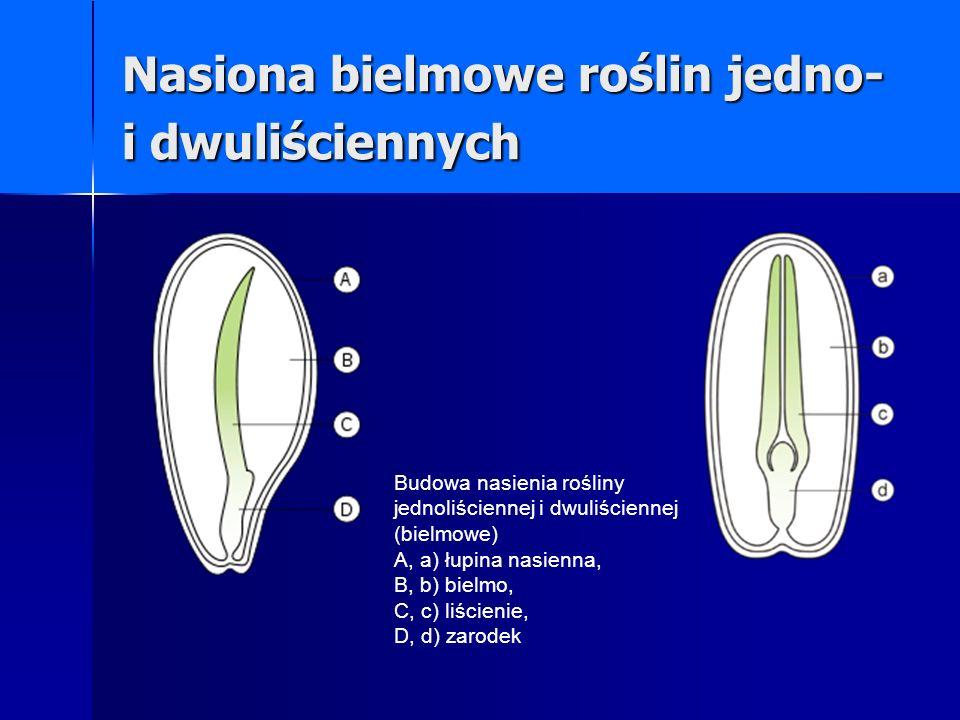 Nasiona bielmowe roślin jedno- i dwuliściennych Budowa nasienia rośliny jednoliściennej i dwuliściennej (bielmowe) A, a) łupina nasienna, B, b) bielmo, C, c) liścienie, D, d) zarodek