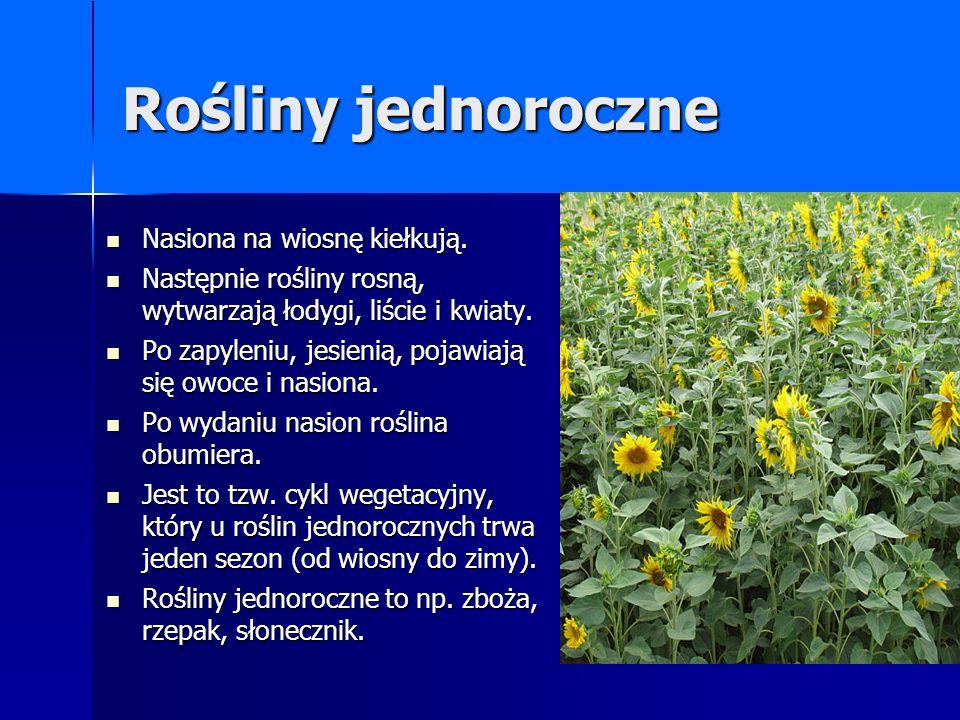 Rośliny jednoroczne Nasiona na wiosnę kiełkują. Nasiona na wiosnę kiełkują. Następnie rośliny rosną, wytwarzają łodygi, liście i kwiaty. Następnie roś