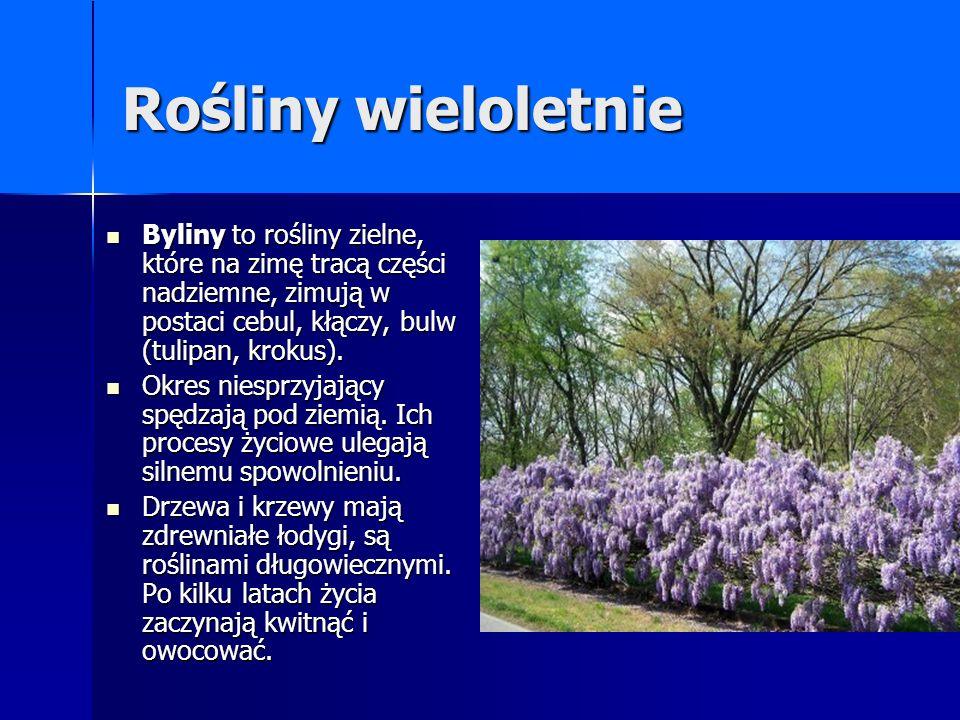 Rośliny wieloletnie Byliny to rośliny zielne, które na zimę tracą części nadziemne, zimują w postaci cebul, kłączy, bulw (tulipan, krokus).