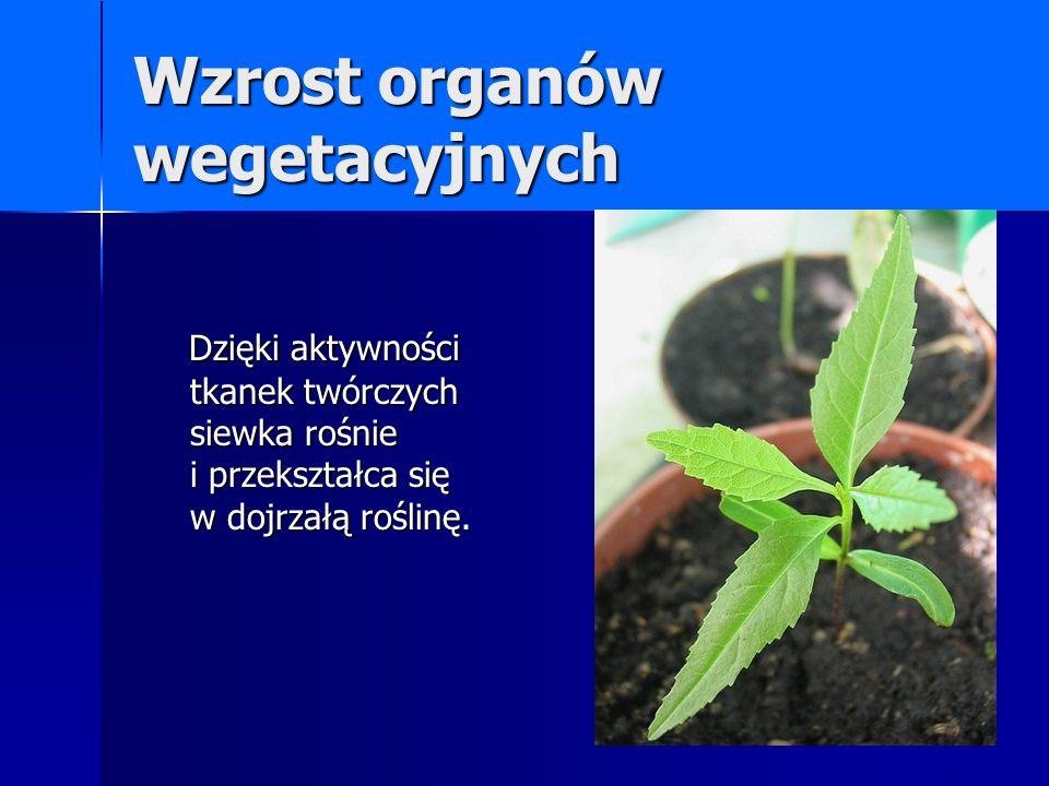 Wzrost organów wegetacyjnych Dzięki aktywności tkanek twórczych siewka rośnie i przekształca się w dojrzałą roślinę. Dzięki aktywności tkanek twórczyc