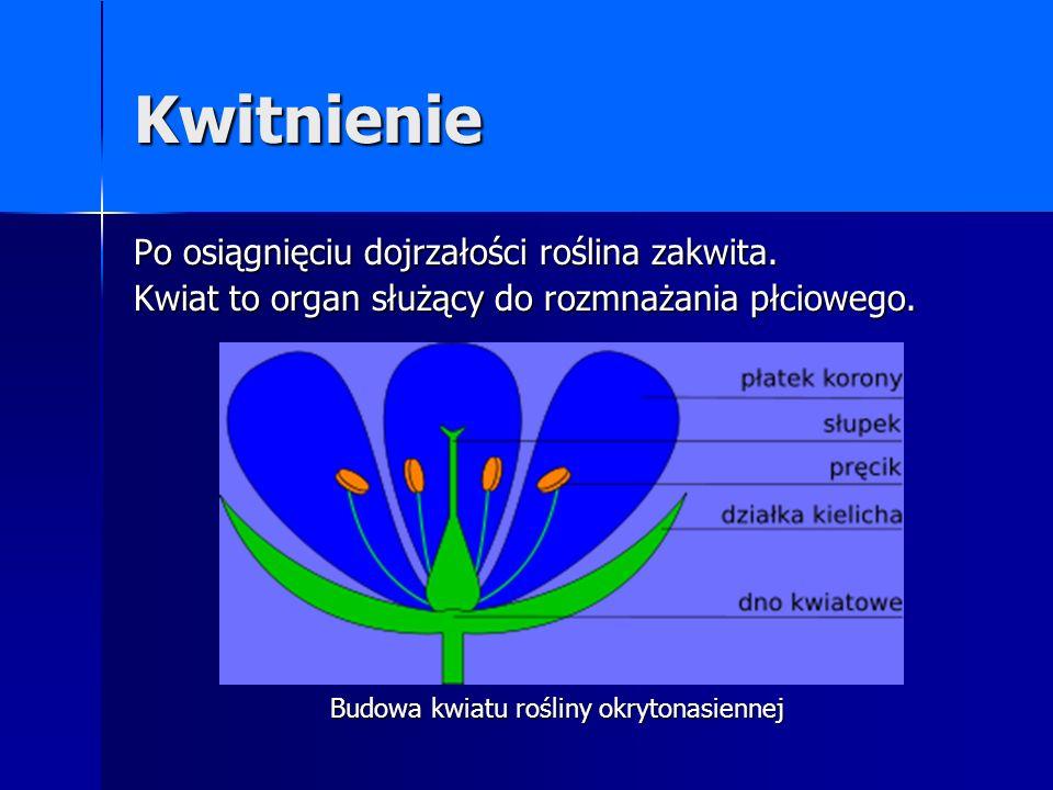Kwitnienie Po osiągnięciu dojrzałości roślina zakwita. Kwiat to organ służący do rozmnażania płciowego. Budowa kwiatu rośliny okrytonasiennej