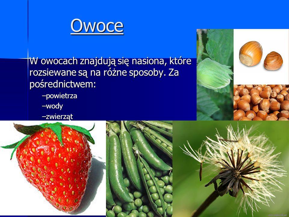 Owoce W owocach znajdują się nasiona, które rozsiewane są na różne sposoby. Za pośrednictwem: –powietrza –wody –zwierząt