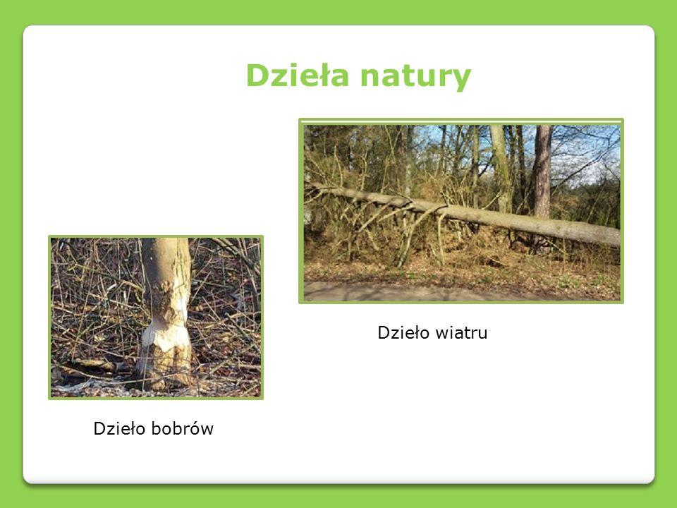 Piękno naszych lasów Rzepik szczeciniasty