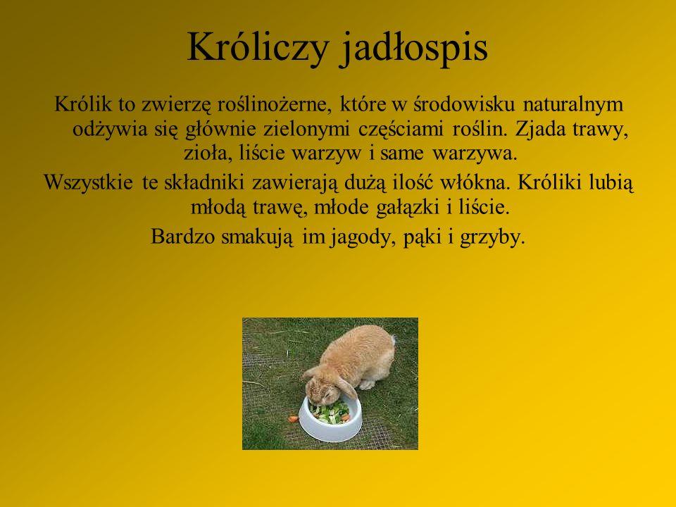 Królik to zwierzę roślinożerne, które w środowisku naturalnym odżywia się głównie zielonymi częściami roślin.